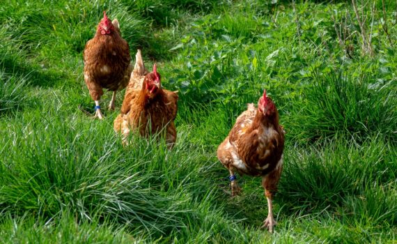 How to Buy a Coop That Is Perfect for Your Chickens