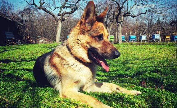 What Are Some of the Best Dog Breeds That People Use for Protection?